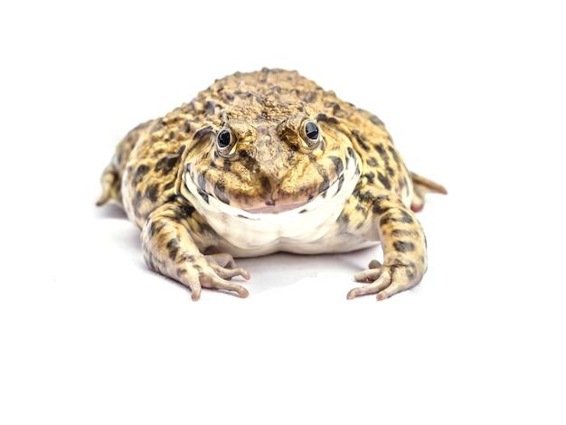 Żaba W Białym Tle. Premium Zdjęcia