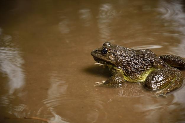 Żaba w wodzie lub stawie, z bliska