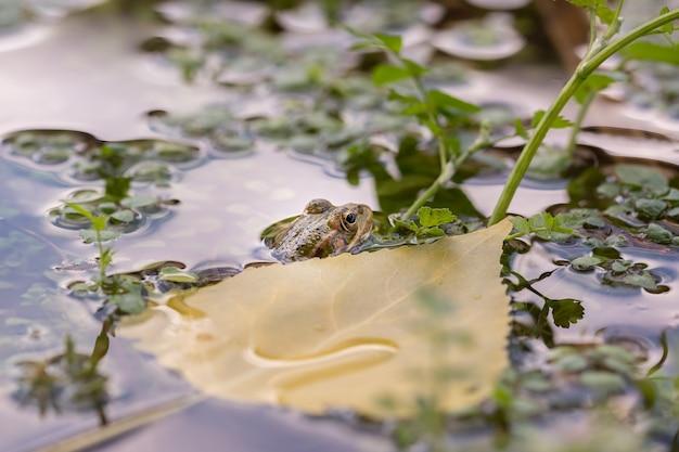 Żaba w wodzie wystawia głowę z wody