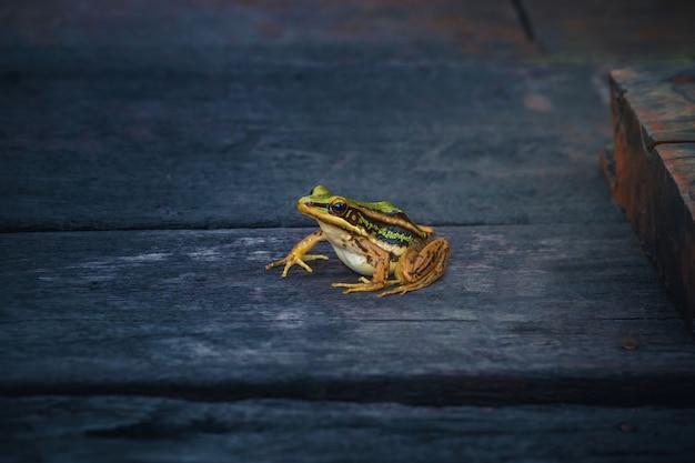 Żaba wodna lub zielona żaba na drewnianej podłodze