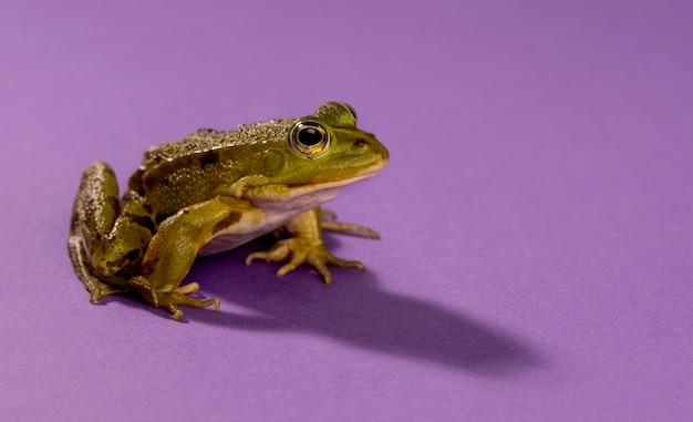 Żaba wodna przed fioletowym tłem
