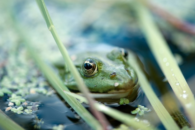 Żaba wygląda z powierzchni wody pokrytego stawu
