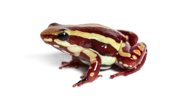 Żaba z zatrutą strzałą anthony'ego, epipedobates anthonyi, przed białym