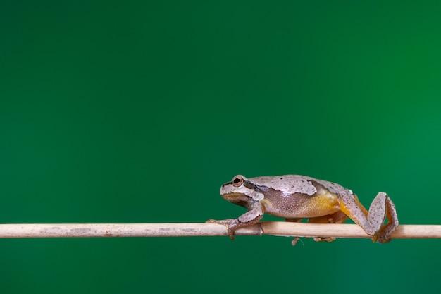 Żaba zielona (hyla arborea) siedzi na gałęzi trzciny.