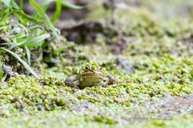 Żaba zielona pelophylax ridibundus. ukrywanie się w lemnie.