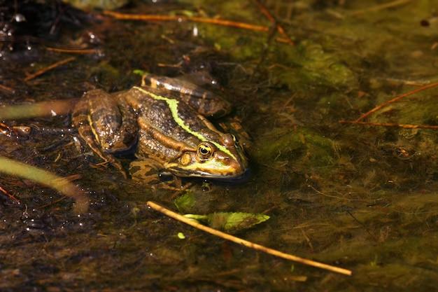 Żaba Zielona W Wodzie Premium Zdjęcia