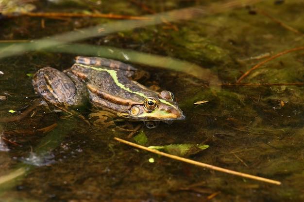 Żaba Zielona Premium Zdjęcia