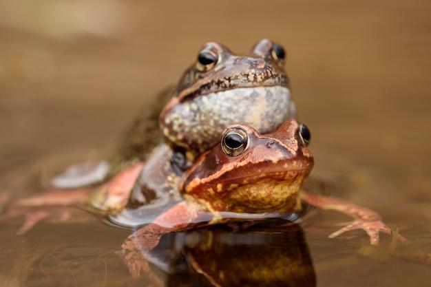 Żaba zwyczajna (rana temporaria)