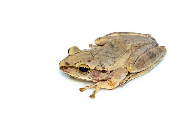 Żaba zwyczajna, żaba czteroliniowa, złota żaba, (polypedates leucomystax). zwierzę. płazy