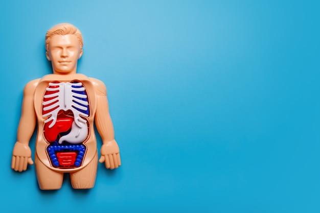 Zabawka montessori ludzkiego ciała na niebieskim tle