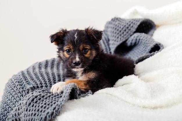Zabawka pies terier szczeniak leżący na kocu na łóżku. czarny pies leży na kanapie w domu. portret ładny młody mały czarny pies odpoczynek w przytulnym domu. białe szare tło.