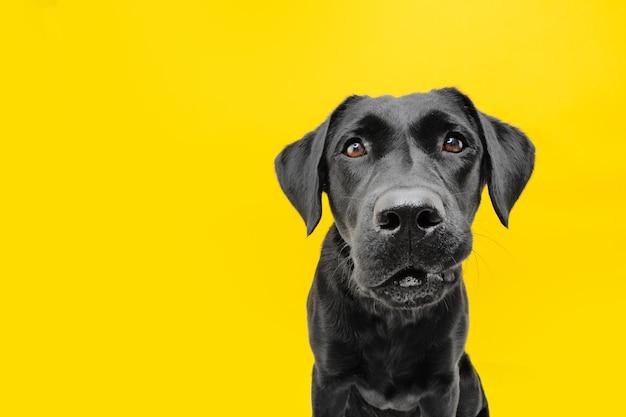 Zabawna zmartwiona twarz psa. pojedynczo na żółto