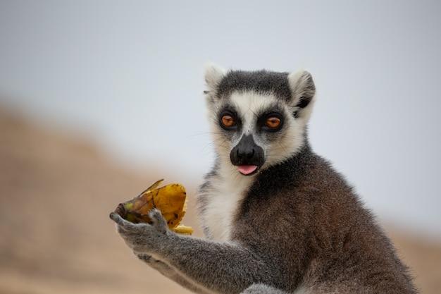 Zabawne lemury katta w ich naturalnym środowisku