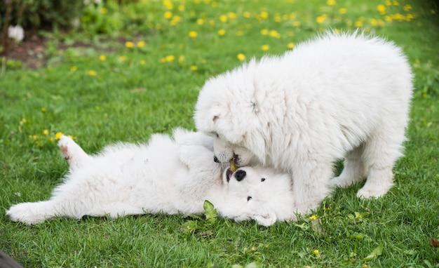 Zabawne puszyste białe szczenięta samoyed bawią się psy
