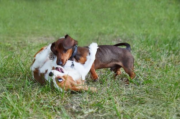 Zabawne zwierzaki dwa psy bawią się zabawne zwierzaki na spacerze przyjaciele czysta młodość szalona słodki zabawny pies