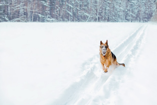 Zabawny, aktywny pies biegnie w głębokim śniegu.