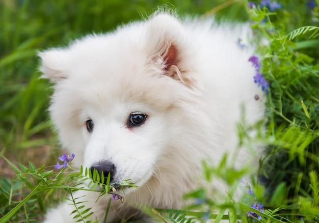 Zabawny biały puszysty szczeniak samoyed pies siedzi i wącha kwiaty na zielonej trawie