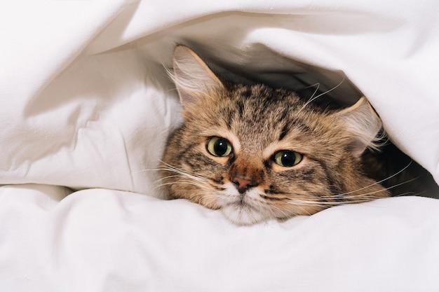 Zabawny brązowy pasiasty słodki kociak leży pod białym kocem i prześcieradłami