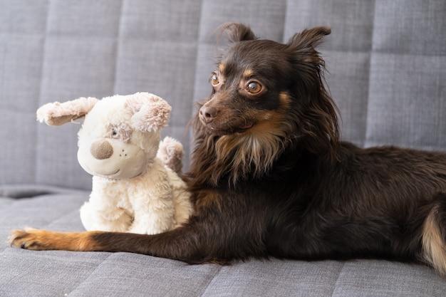 Zabawny brązowy terier rosyjski leżący z miękkim psem na szarej kanapie.