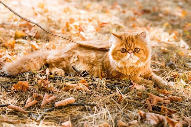 Zabawny czerwony kot perski na smyczy spacerujący po podwórku