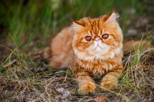 Zabawny czerwony kot perski spaceruje po leśnej trawie