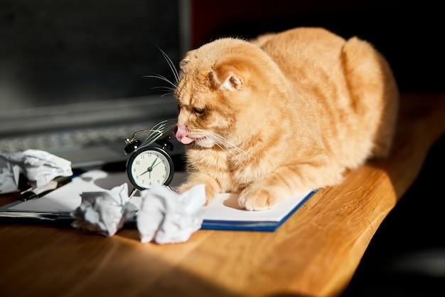 Zabawny figlarny kot leżący na biurku w słońcu, domowe miejsce pracy z białą kartką papieru, laptopem, notatnikiem, zegarem, zmiętymi papierowymi kulkami i materiałami eksploatacyjnymi. domowe miejsce pracy podczas pracy zdalnej.