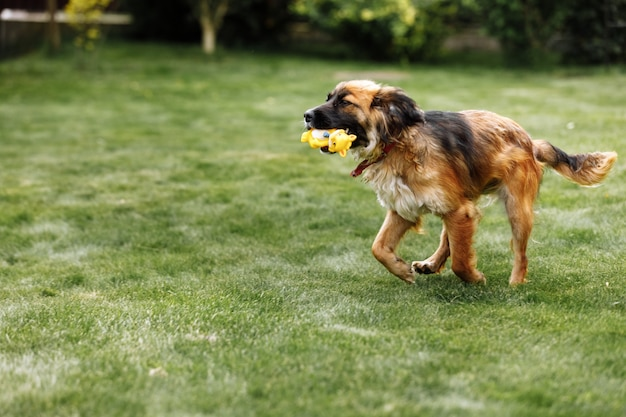 Zabawny i wysportowany młody pies biegnie w letnim parku z zabawką w ustach