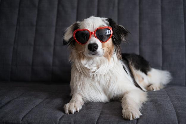 Zabawny ładny owczarek australijski blue merle pies w okularach serca.