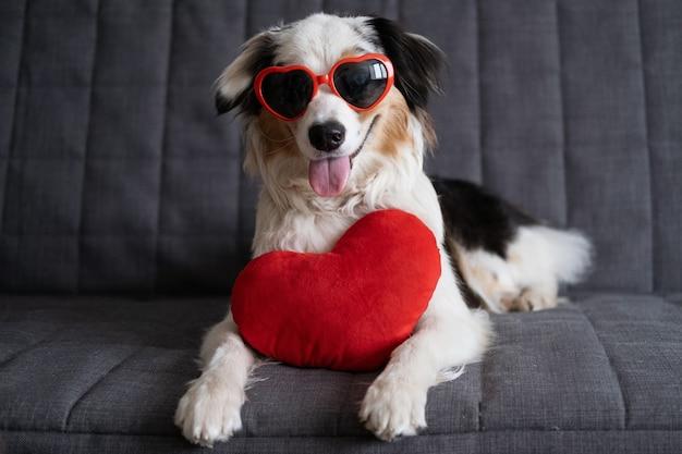 Zabawny ładny owczarek australijski blue merle pies w okularach z sercem pluszaka. walentynki.