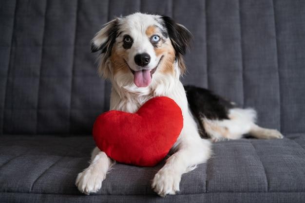 Zabawny ładny owczarek australijski blue merle pies z sercem pluszaka.