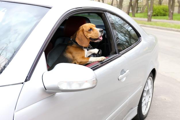 Zabawny ładny pies w samochodzie