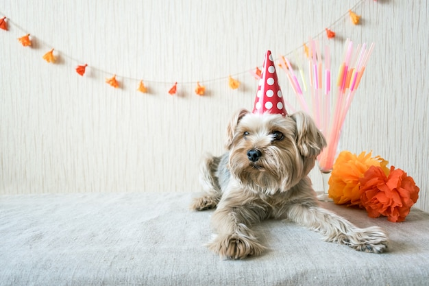 Zabawny ładny yorkshire terrier