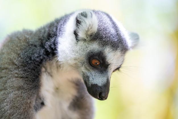 Zabawny lemur katta w swoim naturalnym środowisku.