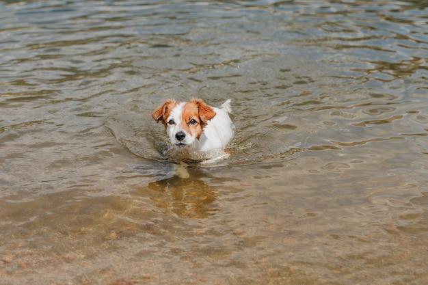 Zabawny mały pies jack russell pływanie w jeziorze. czas letni. zwierzęta, przygoda i przyroda