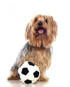 Zabawny mały pies z yorkshire