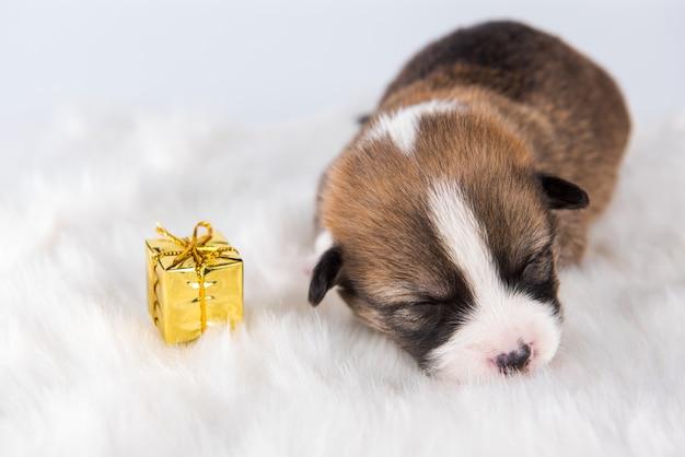 Zabawny mały szczeniak pembroke welsh corgi z prezentem na białym tle na białe dekoracje na boże narodzenie lub inną kartę świąteczną