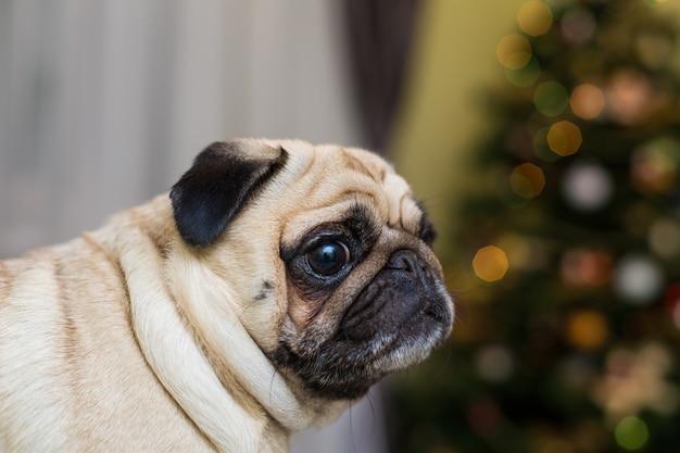 Zabawny młody pies rasy mops w pomieszczeniu