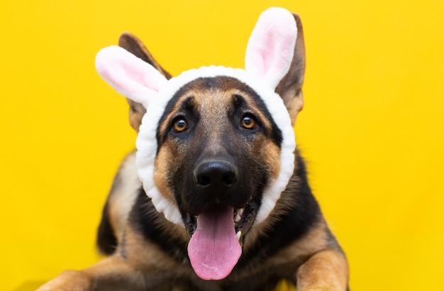 Zabawny owczarek niemiecki w uszach królika na głowie.