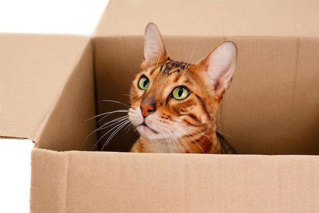 Zabawny piękny urocza pasiasty rudy kot bengalski. śliczny zabawny zwierzak, zabawa, chowanie się w kartonie. przeprowadzka do nowego mieszkania lub koncepcji bezdomnych zwierząt. zbliżenie