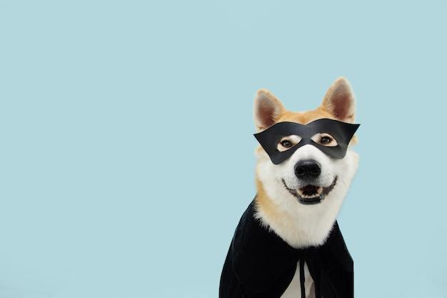 Zabawny pies akita świętujący halloween w czarnym kostiumie bohatera