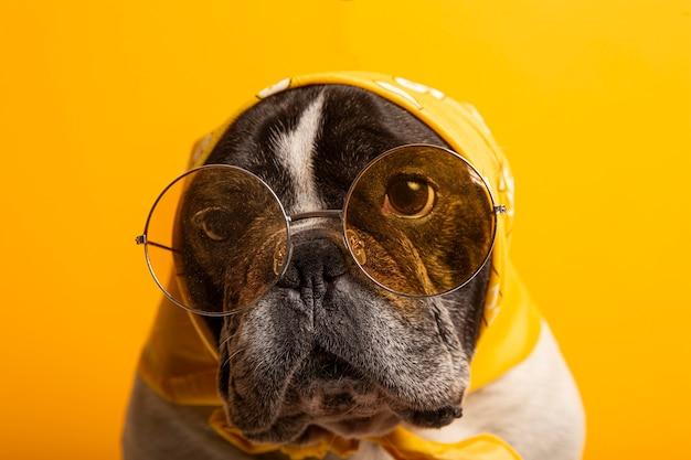 Zabawny pies buldog francuski ubrany w żółtą bandanę i okulary przeciwsłoneczne na żółtej ścianie