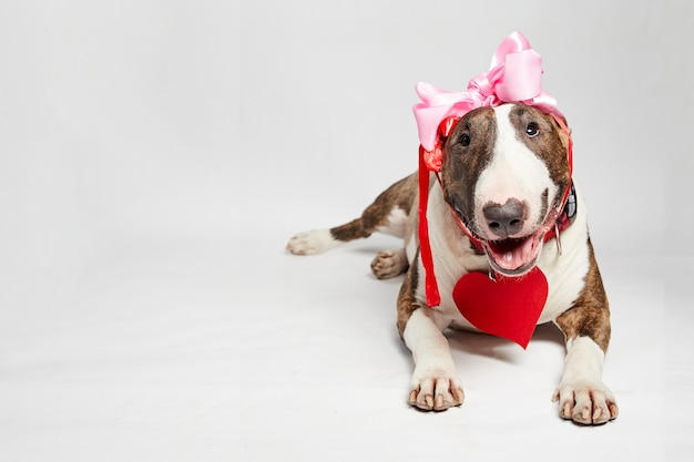 Zabawny pies bulterier siedzi z czerwonym sercem papieru i różową kokardą w walentynki.
