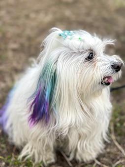 Zabawny pies-maltańczyk z kolorowymi paseczkami na spacerze.