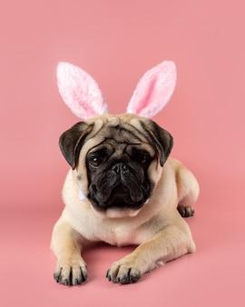 Zabawny pies mops sobie uszy zajączek na różowym tle.