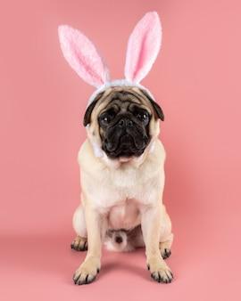 Zabawny pies mops sobie uszy zajączka wielkanocnego na różowym tle.