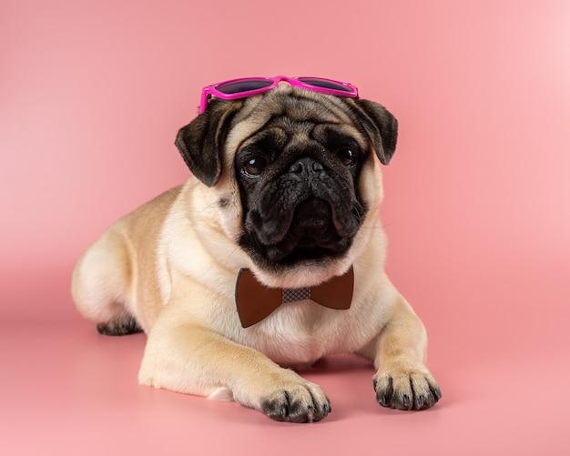 Zabawny pies mops z różowymi okularami na różowym tle.