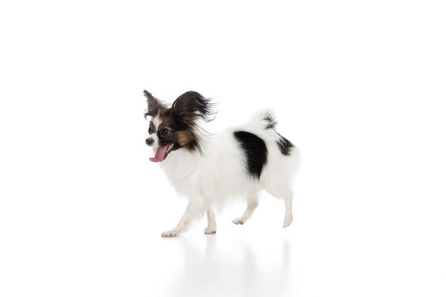 Zabawny pies papillon na białym tle