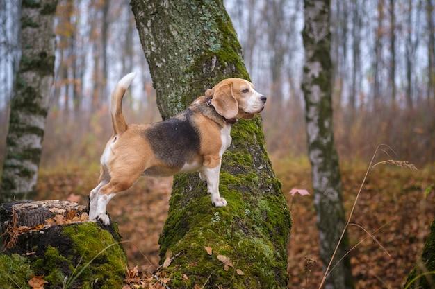 Zabawny pies rasy beagle na spacer w jesiennym parku w gęstej mgle. portret beagle na tle krajobrazu