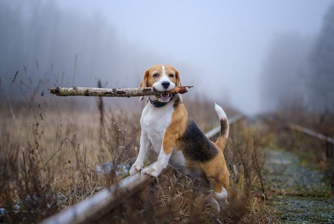 Zabawny pies rasy beagle trzymający kij w zębach podczas spaceru w jesiennym parku w gęstej mgle