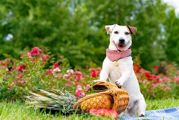 Zabawny pies rasy jack russell terrier trzymający kosz owoców na pikniku w parku